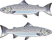 Atlantic Salmon vector art illustration