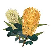Australian Realistic Yellow Banksia Flowers isolated on a white background