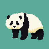 Baby giant panda standing. Black and white chinese bear cub. Rare, vulnerable species.
