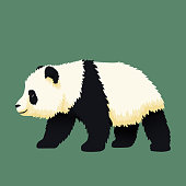 Baby giant panda walking. Black and white chinese bear cub. Rare, vulnerable species.