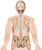 Back bones ribs and hip 3d medical vector illustration eps 10