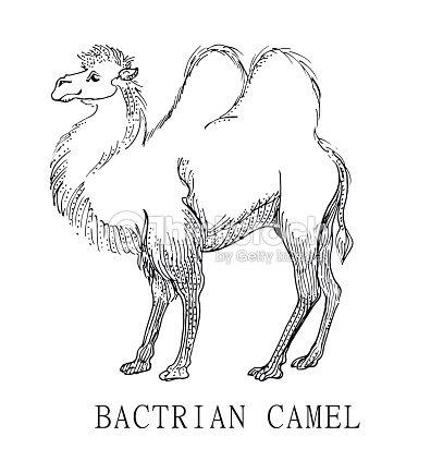 Camello Bactriano Boceto De Ilustración De Camelus Bactrianus Para ...