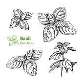 Detailed hand drawn vector illustration of basil plant.