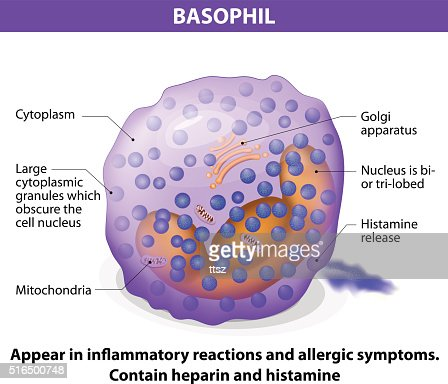 Basophil Diagram Basophil Vector Art | ...