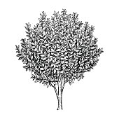 Bay laurel branch. Ink sketch isolated on white background. Hand drawn vector illustration. Retro style.