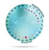 Beautiful light blue menstrual cycle graphic wheel, reproductive system anatomy at the middle