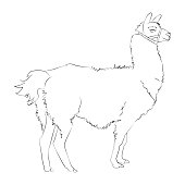 A beautiful realistic hand drawn sketch of alpaca or lama. Vector illustration. Outline portrait of lama isolated on white background. Concept for card or print