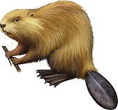 North American Beaver holding a tree branch. Illustration isolated on white