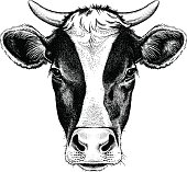 Black and white sketch of a friesian cow's face. Vector portrait.