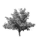 Monochrome vintage engraving tree illustration isolated on white background