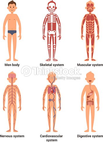 Body Anatomy Of Men Nerves And Muscular Systems Heart And Other ...