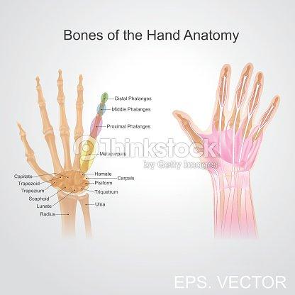 Knochen Der Hand Anatomie Vektorgrafik | Thinkstock
