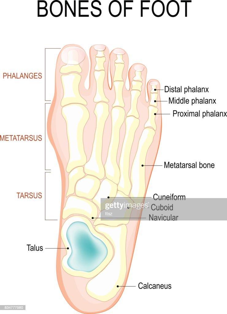 Foot Bones Veins Diagram Custom Wiring Diagram