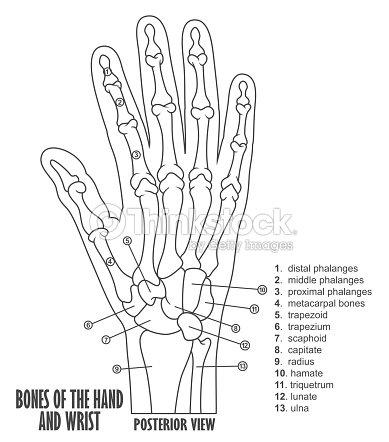 Knochen In Die Hand Und Handgelenk Anatomie Vektorgrafik | Thinkstock