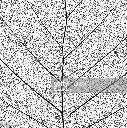 Botanical series Elegant detailed Single leaf  structure in sketch style black and white on white background : stock vector