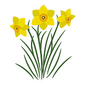 Bouquet of yellow daffodils on a white background. It can be used as an design element in projects and compositions. Vector illustration