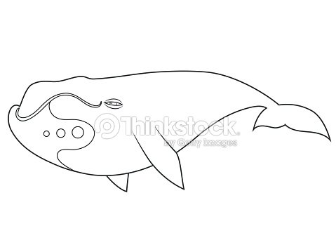 Bowhead Whale Coloring Book Stock Vector Thinkstock