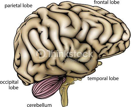 Brain Anatomy Labelled Diagram Vector Art | Thinkstock