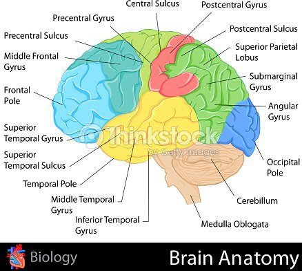 Brain Anatomy Vector Art | Thinkstock
