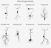 Brain cells (neurons) vary in their morphological features, and this also dictates their function. Some of the many neuron types are shown.