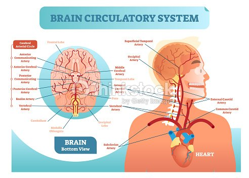 Brain circulatory system anatomical vector illustration diagram brain circulatory system anatomical vector illustration diagram human brain blood vessel network scheme cerebral ccuart Gallery