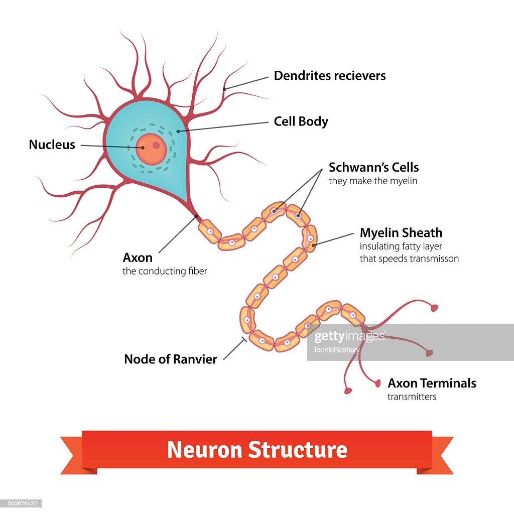 Human Neuron Diagram - Circuit Connection Diagram •