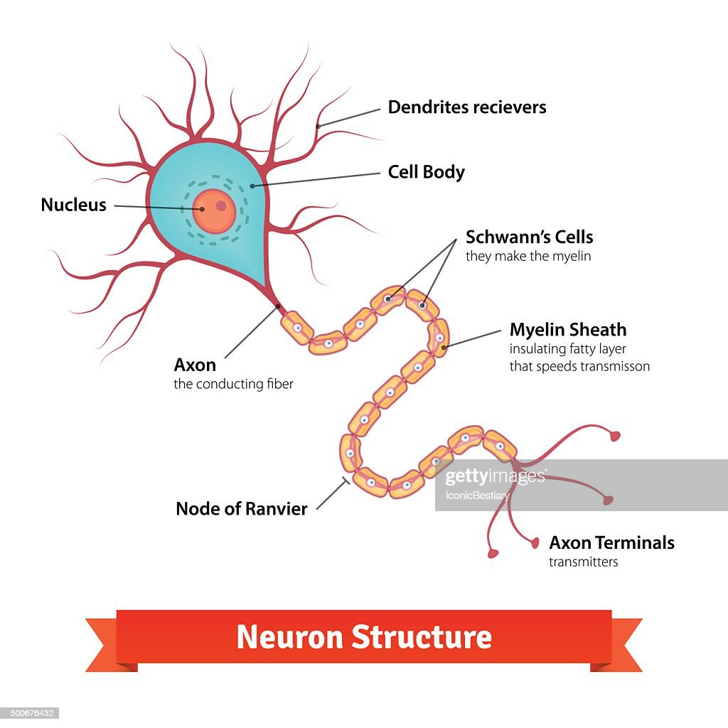 Nerve cell diagram full auto electrical wiring diagram brain neuron cell diagram vector art thinkstock rh thinkstockphotos com sensory neuron nerve cell diagram unlabeled ccuart Gallery