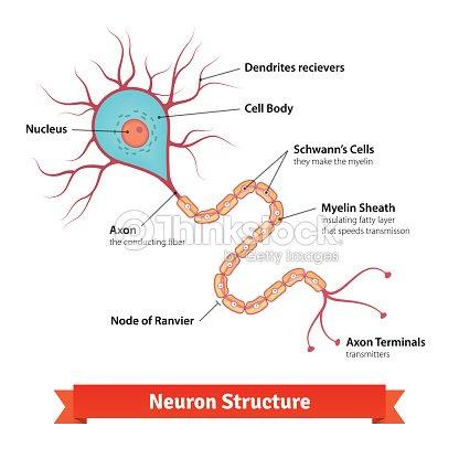 Brain neuron cell diagram vector art thinkstock brain neuron cell diagram vector art ccuart Choice Image