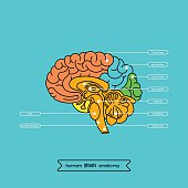 Schematic illustration of human cerebrum. Made in vector, easy recolor.