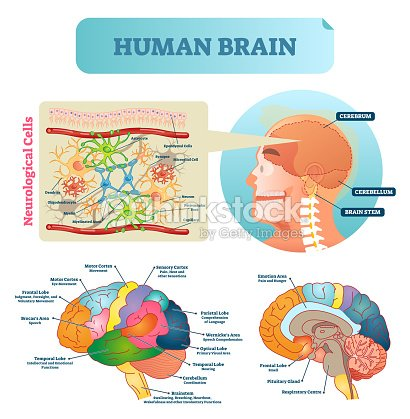 Brain vector illustration medical educational scheme with brain vector illustration medical educational scheme with neurological cells closeup silhouette with cerebrum ccuart Images