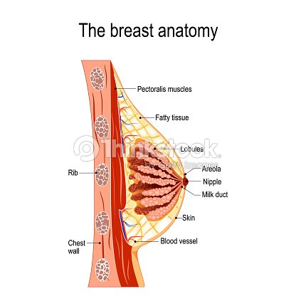 cross-section of the mammary gland : stock vector