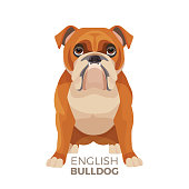 British Bulldog medium-sized breed, English bulldog muscular, hefty puppy with wrinkled face and distinctive pushed-in nose vector illustration with text