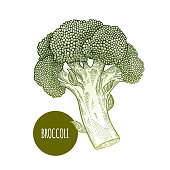 Broccoli. Hand drawing vegetables. Vector illustration art. Green and white. Vintage engraving. Kitchen design.
