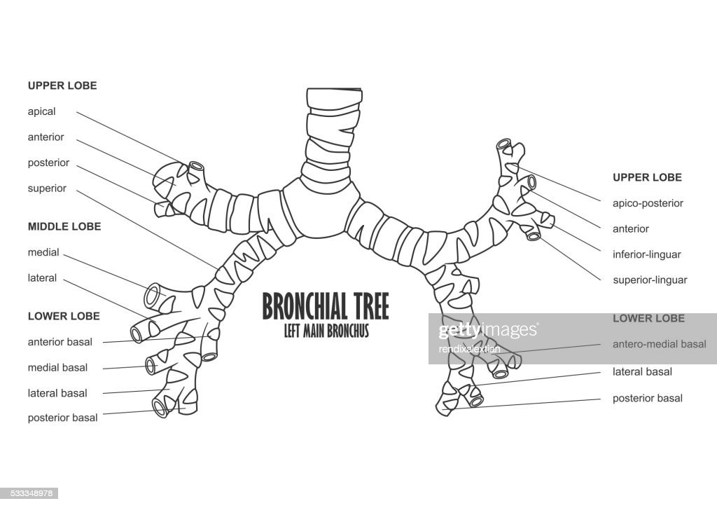 Bronchial Tree Diagram Anatomy Of Bronchial Tree Lung Wiring Diagrams