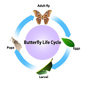 Butterfly life cycle vector on white background