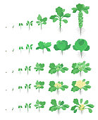 Cabbage set. Brussels sprout Broccoli Kohlrabi Cauliflower kinds of cabbage. Crop stages planting cabbages plant. Harvest growth vegetable. Brassica oleracea vector flat Illustration. Life cycle. Gard