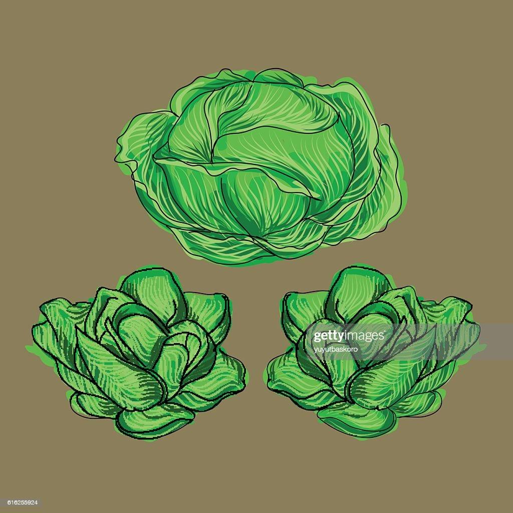Cabbage. Vector illustration. : Arte vetorial