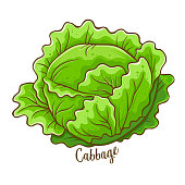 Cabbage fresh natural vegetable, hand drawn vector illustration isolated