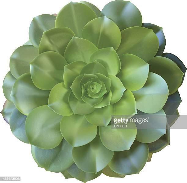 Cactus Sukkulente-Vektor-Illustration