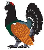 wood grouse,heather cock or capercaillie wildfowl isolated on white