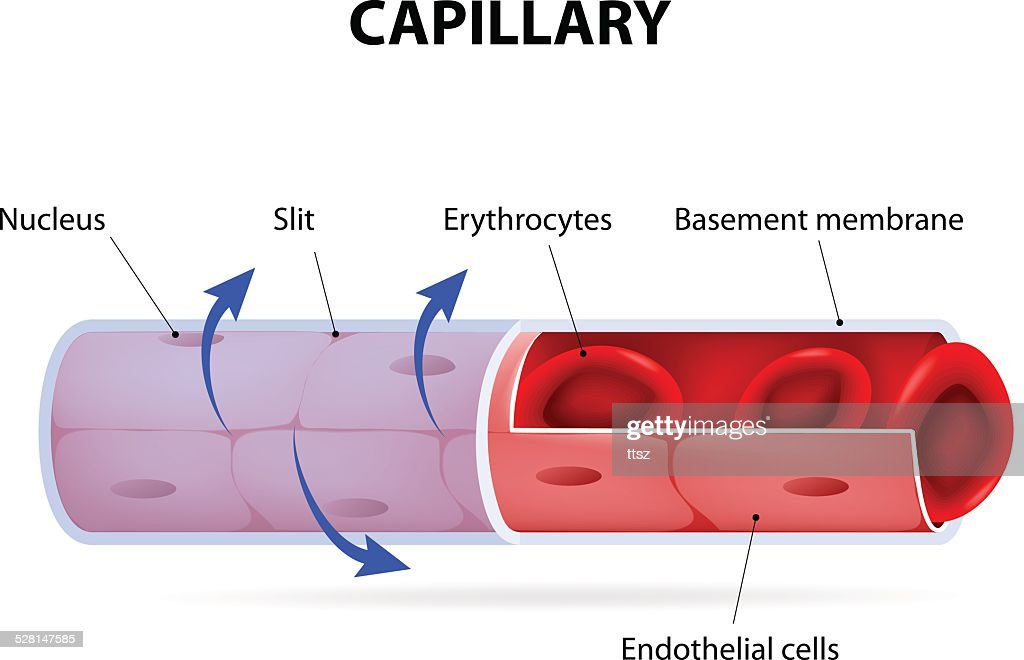 capillary blood vessel labelled vector art thinkstock Pearson Respiratory Capillary Diagram