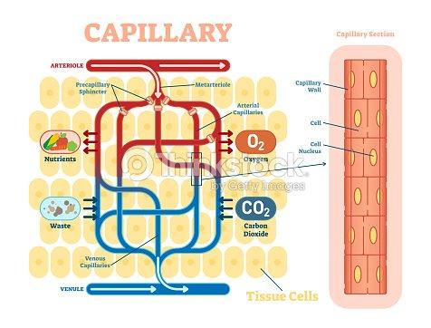 Fantástico órganos Internos Diagrama De La Anatomía Festooning ...