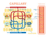 Capillary schematic, anatomical vector illustration diagram with blood flow. Educational information poster.