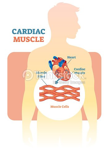 Cardiac Muscle Vector Illustration Diagram Anatomical Scheme With ...