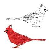 Cardinal. Vector illustration, elements for design.