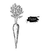 Carrot hand drawn vector illustration. Isolated Vegetable engraved style object. Detailed vegetarian food drawing. Farm market product. Great for menu, label, icon