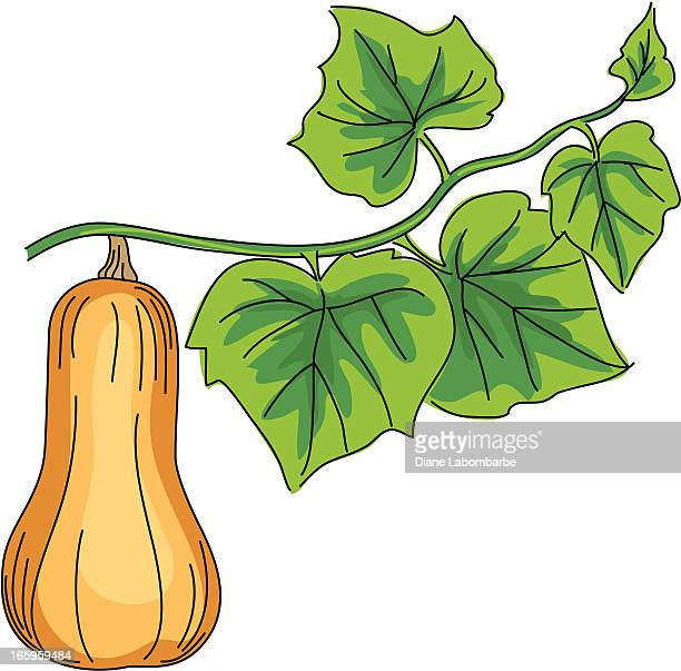 Illustrations et dessins anim s de courge getty images - Courge dessin ...