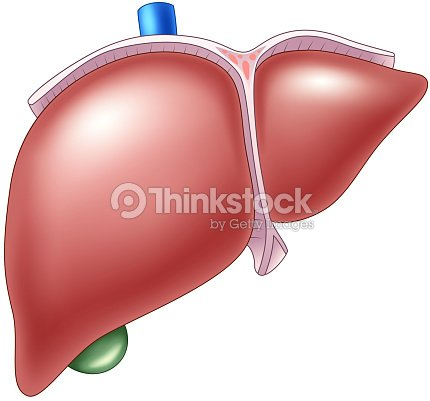 Cartoon Illustration Of Human Liver Anatomy Vector Art Thinkstock