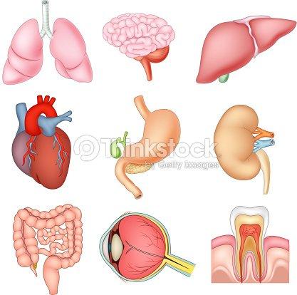 Ilustración De Dibujos Animados órganos Internos De Anatomía Arte ...