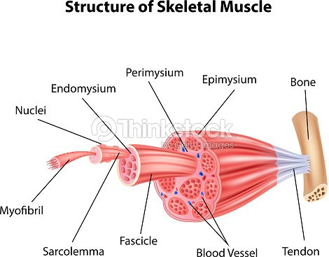 Cartoon Illustration Of    Structure       Skeletal       Muscle    Anatomy